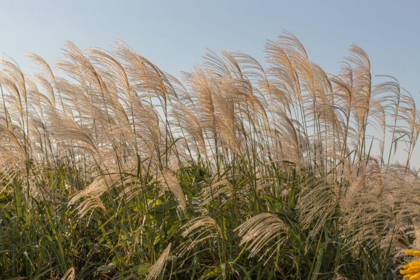 Wild grasses blowing in the wind.
