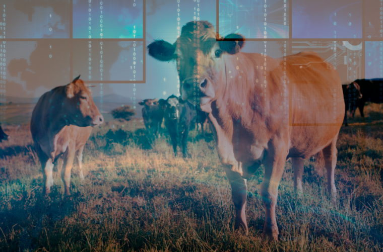 Composite image of cow herd with computer data overlaid