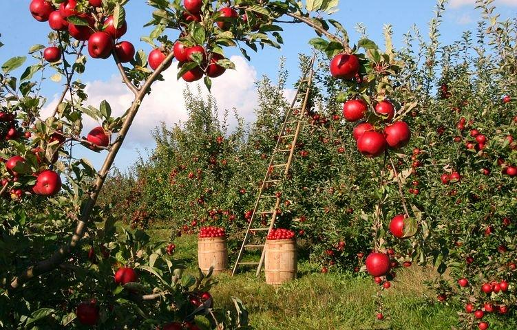 Image of apple orchard