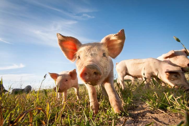 Stock image of pigs in field with blue sky in background