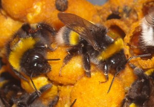 Bumblebee (Bombus terrestris) workers with Radio Frequency Identification (RFID) tags. Photographer: Richard Gill