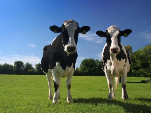 Images of Cows in a Field