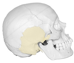 right temporal bone