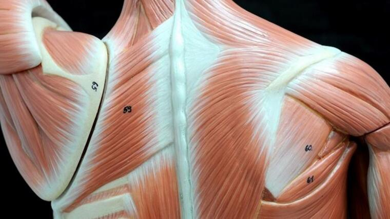 A photograph of a plastic model of the back muscles.