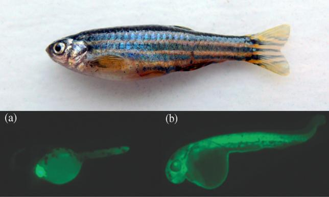 Photo of Zebra fish (above), Fluorescent protein gene (below)