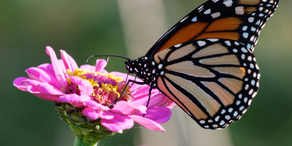 A monarch butterfly on a pink flower