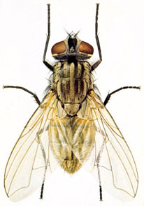 essay on house fly How to control house flies, exclude and kill house flies with professional house fly control insecticides, fly traps, fly lights, fly baits to kill house flies the first step in house fly control is exclusion and sanitation after these measures, you can use insecticides that come in residual forms.