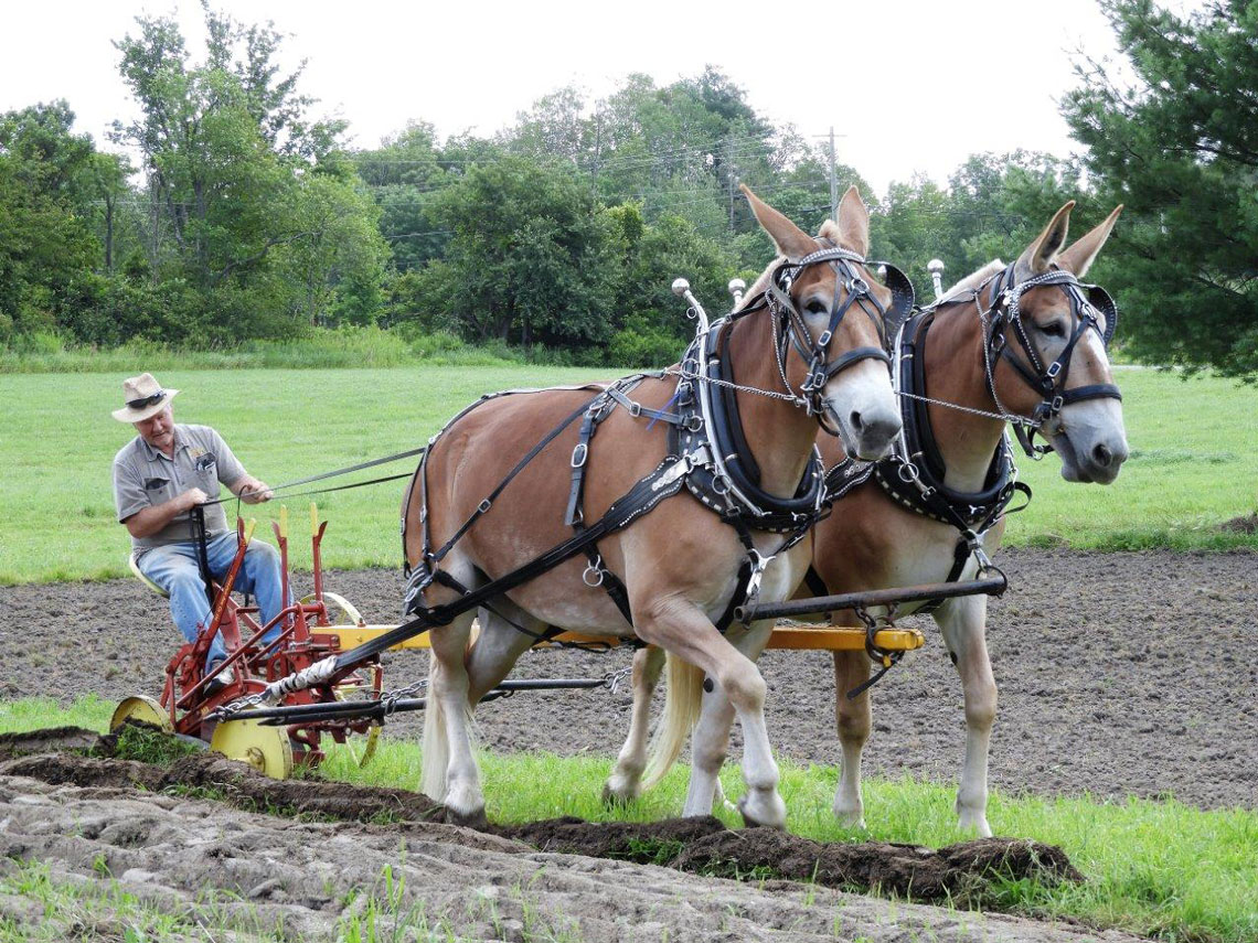 Two horses pulling an old plow with a volunteer steering