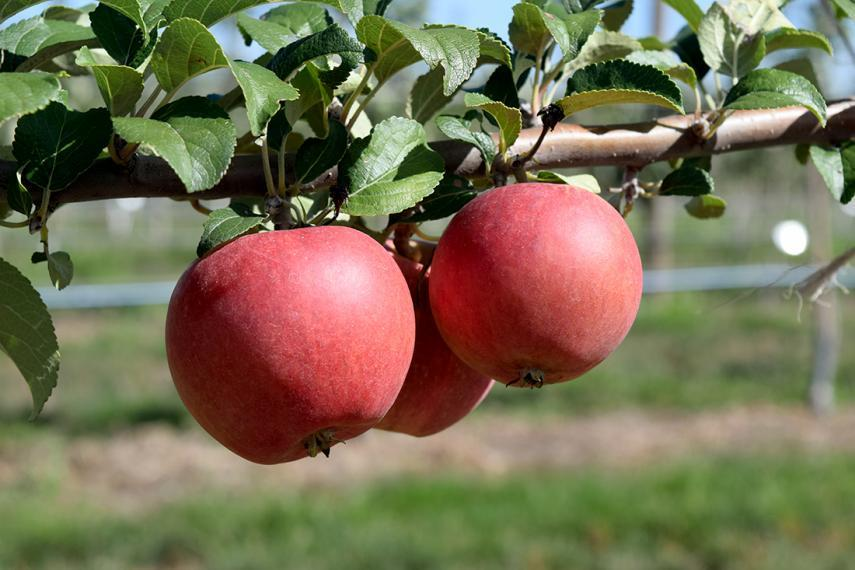 Three red apples on branch