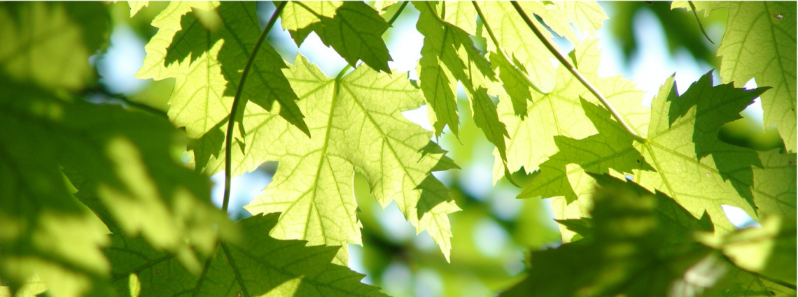 close up of green maple tree leaves