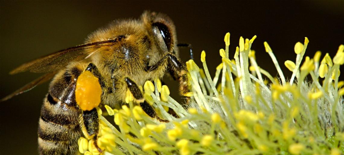 honey bee on a flower, pollen stuck to legs