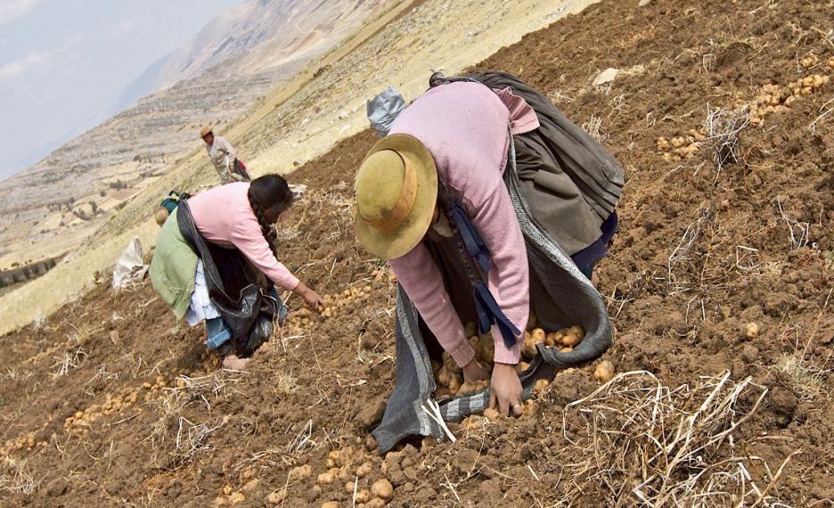 Two Andean women harvest potatoes