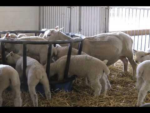 Sheep eating food