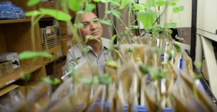 Manish Raizada looks at small plants growing in lab