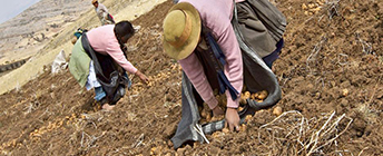 Two Andean women harvest potatoes.