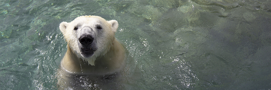 A close up of a polar bear in water.