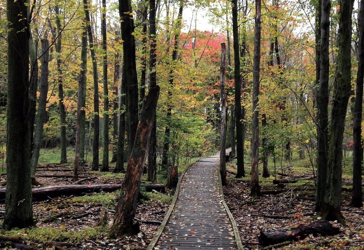 A wooden boardwalk winds though trees in the Arboretum in the fall.