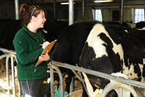Female student holds clipboard while standing in dairy cow barn.