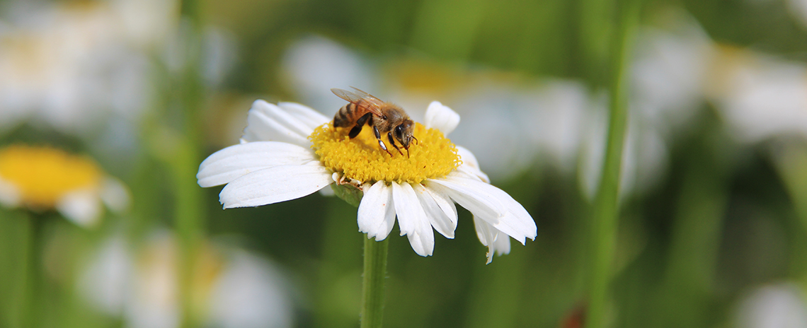 A bee sitting on a daisy.