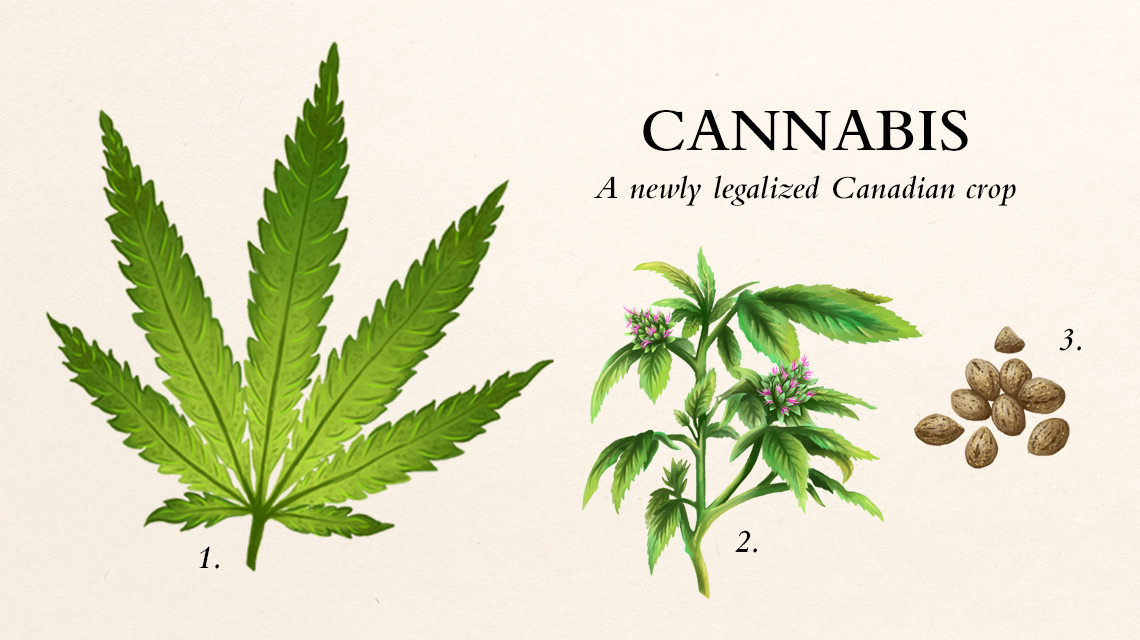 A cannabis plant diagram.