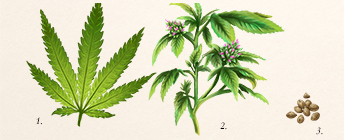 Diagram of cannabis plant.