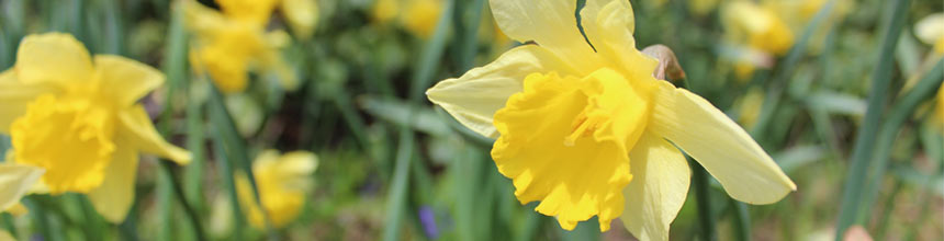 close up image of daffodil bloom
