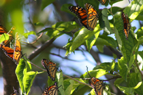 Monarch butterflies in a tree.