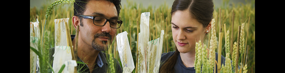 Two researchers look at wheat.