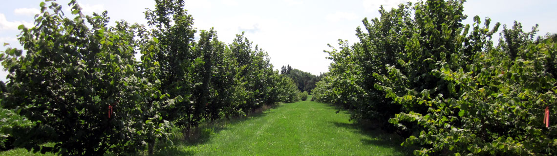 Hazelnut tree orchard planted at Simcoe Research Station.