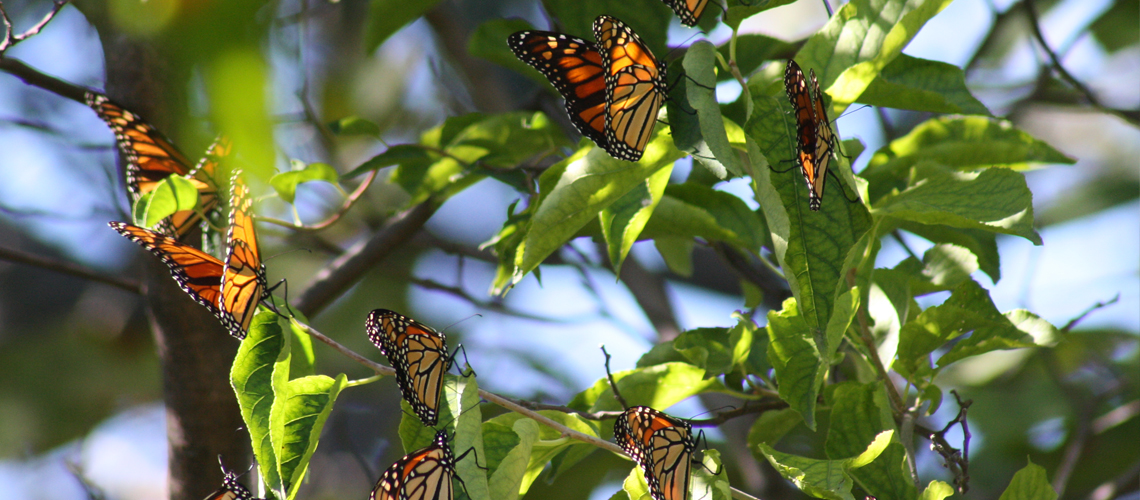 Close-up image of monarch butterflies in a tree