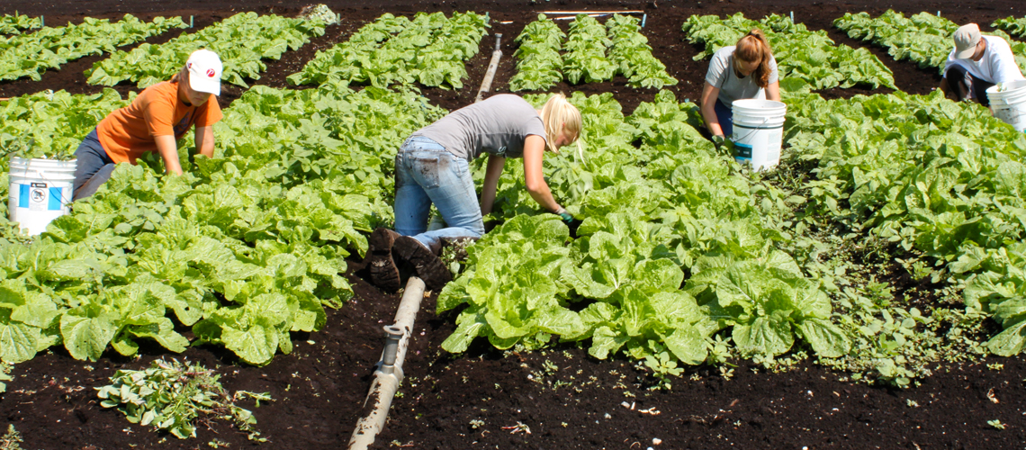 Four students work in rows of green lettuce