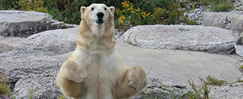 A polar bear stands up.