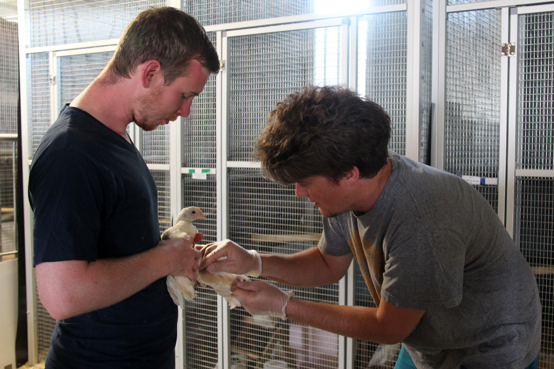 Patrick holds out a hen's wing for a blood sample while a student holds then hen still.