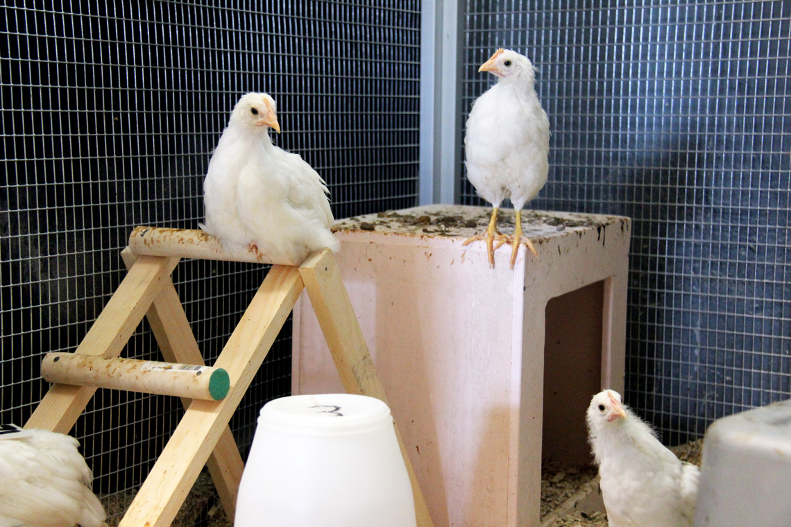 Hens stand perched in an aviary cage.