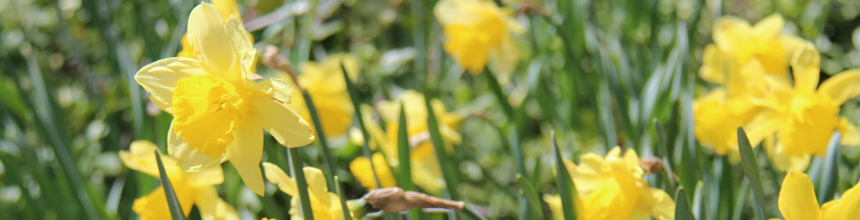 Close crop of yellow blooming daffodils