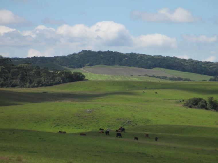 Cattle graze on green fiels with forest in the background.