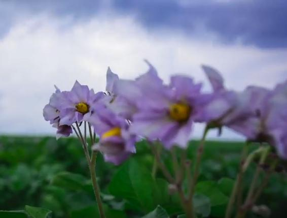 Purple potato flowers in green field, blue sky behind