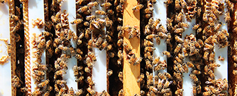 Top view of bees in their hive.