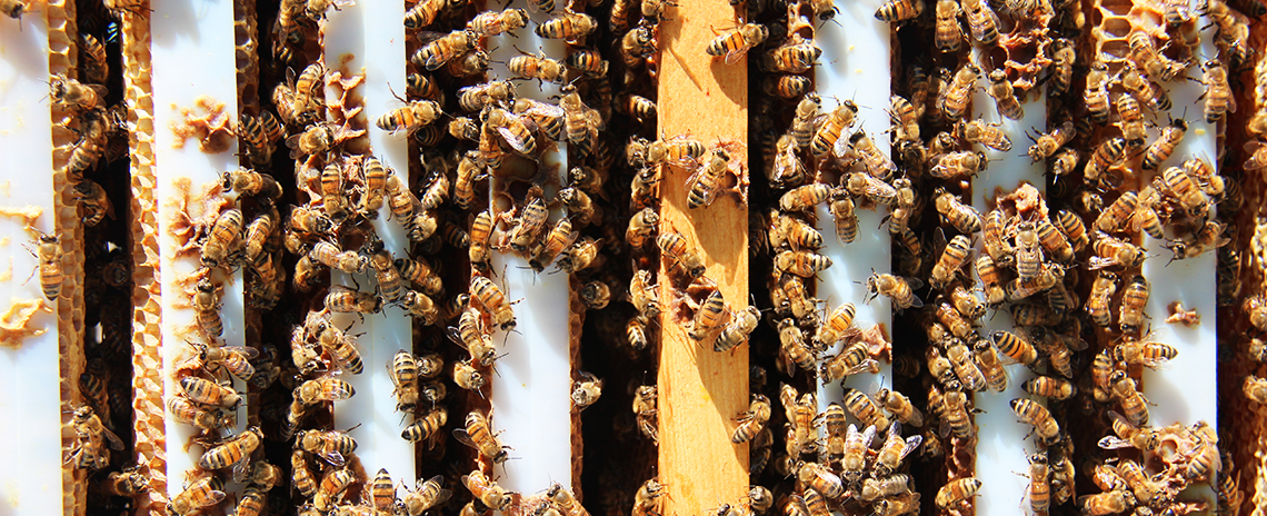Over head view of bees in a hive.