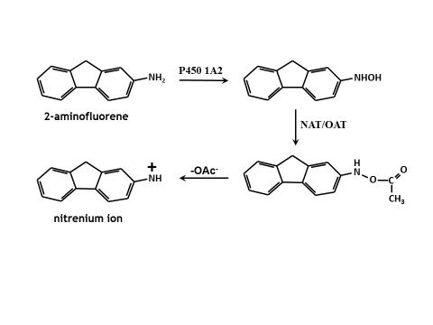 This figure shows the metabolism of a typical aromatic amine mutagen - the work done by the bacteria.