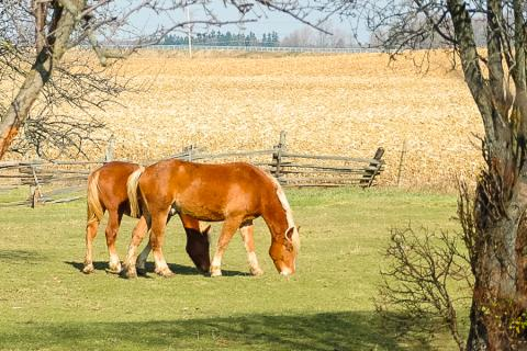 Photo of two Belgian horses grazing