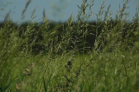 Photo of a field of bluegrass