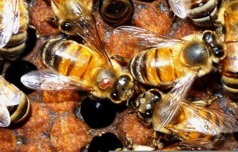 Photo of bees with the varroa mites on them