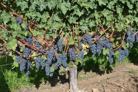 Photo of grapes on the vine