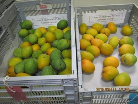 A photo of two baskets of mangoes.  On the left, mangoes that have been treated with hexanal are green, and the ones on the right that have not, are yellow.