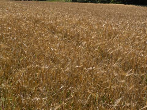 Photo of a field of OAC 21 barley