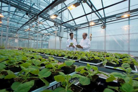 Photo of tobacco plants growing in a greenhouse, two men in lab coats in the background