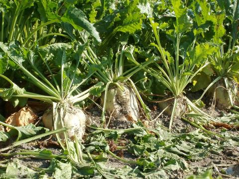 Photo of sugar beets in the ground