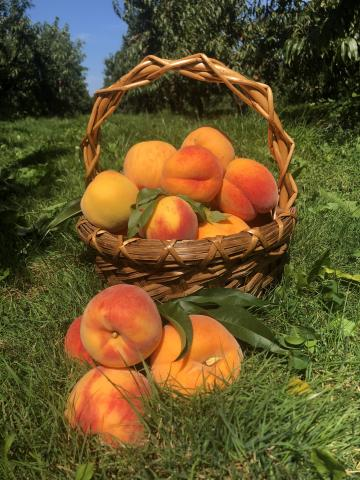 A basket of filled with ripe peaches in the background, three peaches sit on the grass in front of it