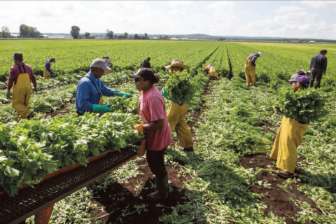 Eleven SAWP workers harvest in a field of celery.  One man in a beige ball cap, blue shirt and suspenders, wearing blue gloves, sorts celery on a conveyor belt with a woman wearing a red tshirt and black ball cap.  Two workers in yellow rain pants carry celery to the conveyor belt. The remaining workers are also in yellow rain pants harvesting celery.